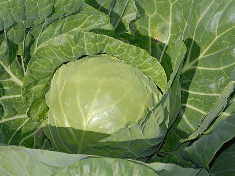 Кевин F1, семена капусты белокочанной (Syngenta / Сингента) - фото 6045