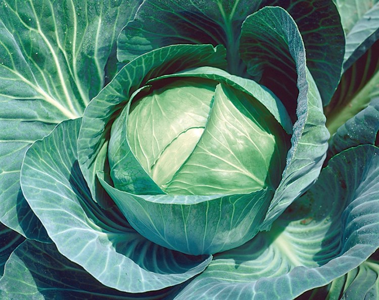 Куизор F1, семена капусты белокочанной (Syngenta / Сингента) - фото 6049