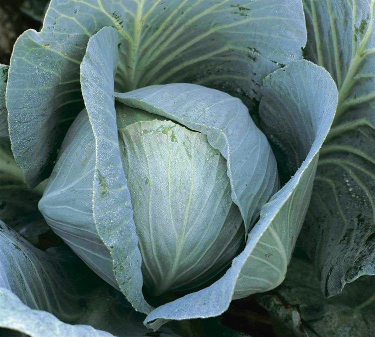 Новатор F1, семена капусты белокочанной (Syngenta / Сингента) - фото 6052