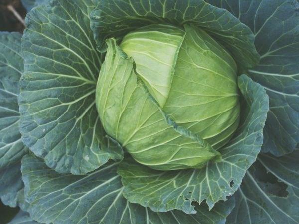 Пруктор F1, семена капусты белокочанной (Syngenta / Сингента) - фото 6054