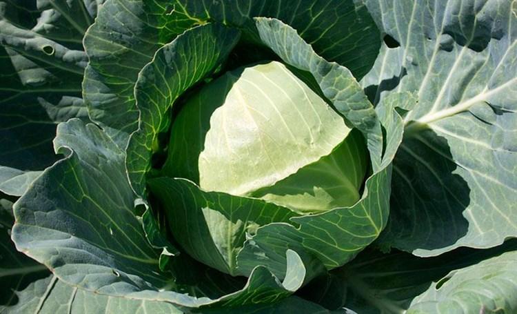 Роктор F1, семена капусты белокочанной (Syngenta / Сингента) - фото 6057