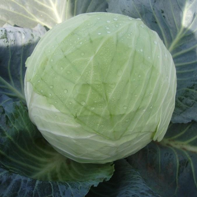 Эрдено F1, семена капусты белокочанной (Syngenta / Сингента) - фото 6058