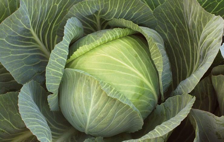 Сократес F1, семена капусты белокочанной (Syngenta / Сингента) - фото 6062