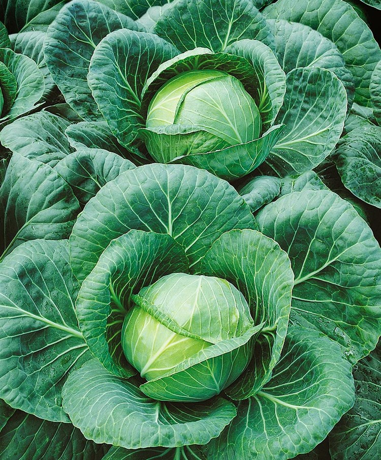 Текила F1, семена капусты белокочанной (Syngenta / Сингента) - фото 6065