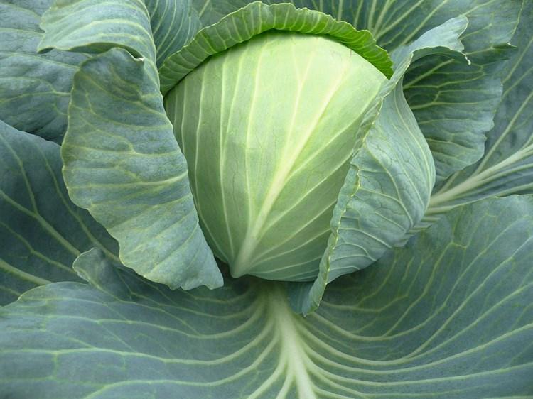 Триперио F1 (СГ 3352), семена капусты белокочанной (Syngenta / Сингента) - фото 6066