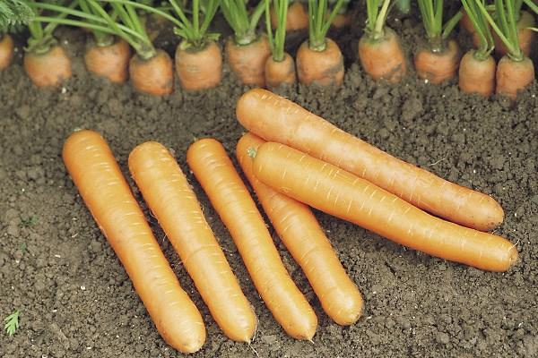Наталья F1, семена моркови (Syngenta / Сингента) - фото 6067