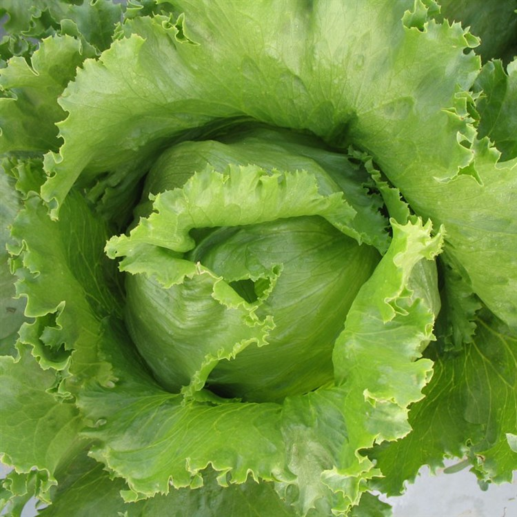 Айс Базар, семена салата айсберг (Syngenta / Сингента) - фото 6075