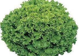 Фанли, семена салата (Syngenta / Сингента) - фото 6077