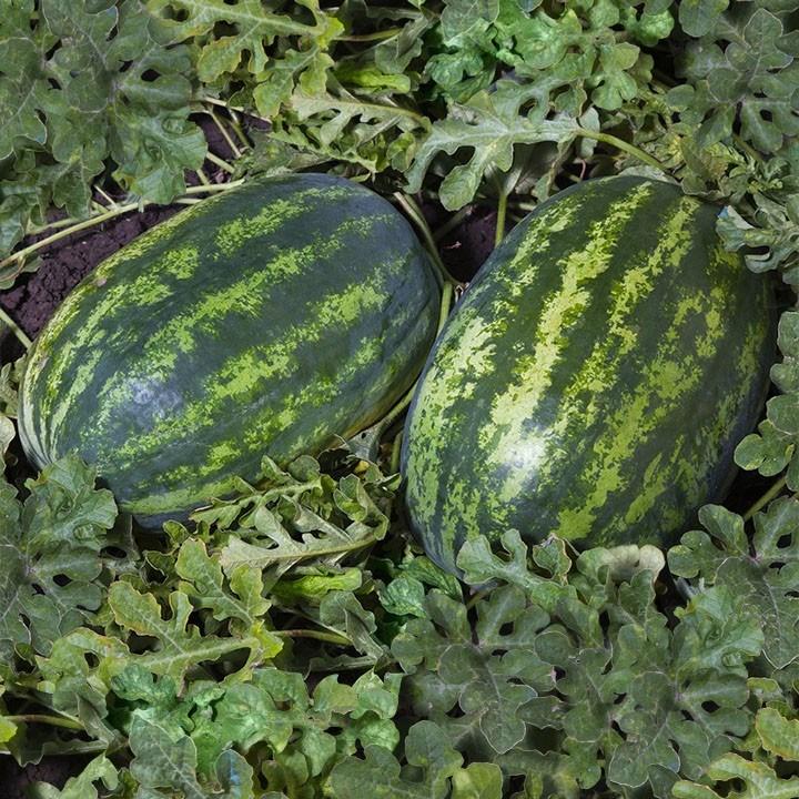 Поларис F1, семена арбуза (Syngenta / Сингента) - фото 6111