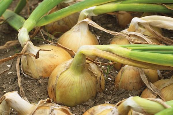 Моушен F1, семена лука репчатого (Syngenta / Сингента) - фото 6143