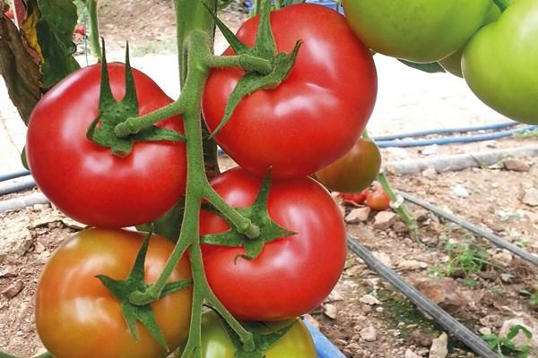Лагенда F1, семена томата индетерминантный (Syngenta / Сингента) - фото 6147