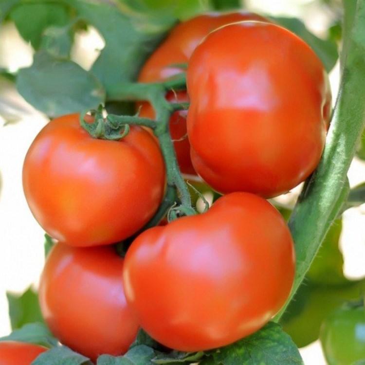 Сагатан F1, семена томата детерминантный (Syngenta / Сингента) - фото 6199