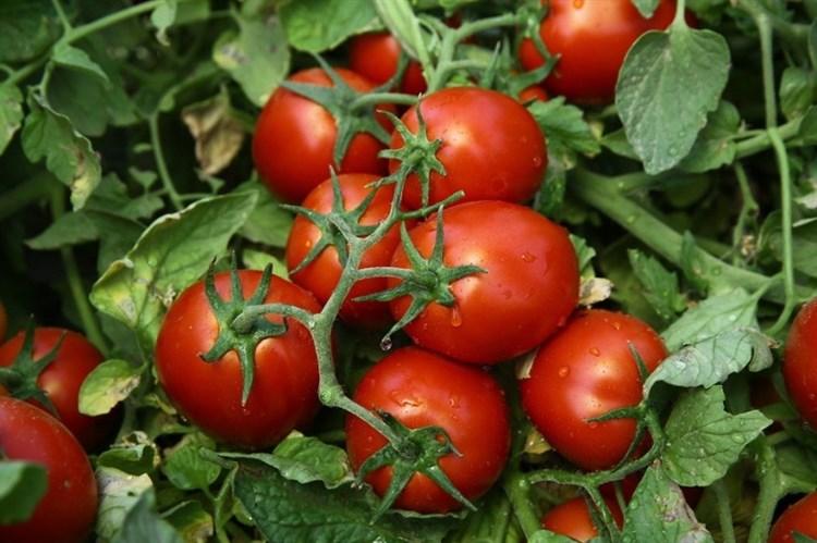 Чибли F1, семена томата процессингового (Syngenta / Сингента) - фото 6201