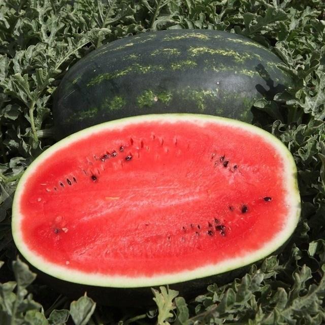 Мирсини F1, семена арбуза (Syngenta / Сингента) - фото 6202