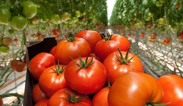 Алтадена F1, семена томата индетерминантный (Syngenta / Сингента) - фото 6210