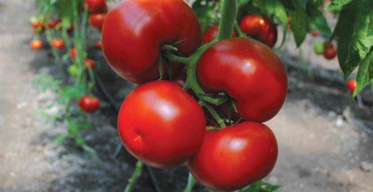 Бостина F1, семена томата индетерминантный (Syngenta / Сингента) - фото 6212