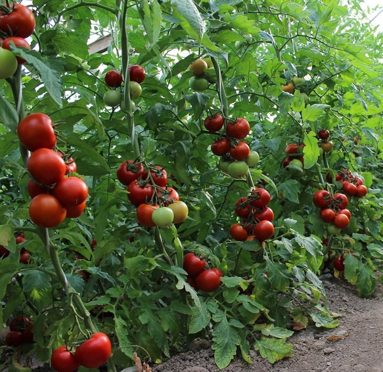 Дантина F1, семена томата индетерминантный (Syngenta / Сингента) - фото 6215
