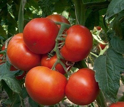 Панекра F1, семена томата индетерминантный (Syngenta / Сингента) - фото 6217