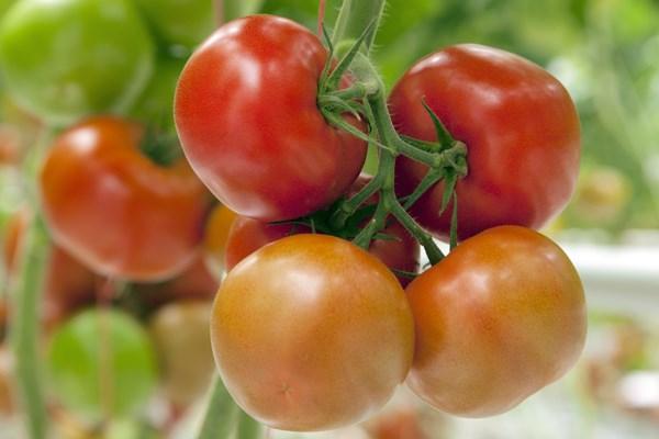 Эдамсо F1, семена томата индетерминантный (Syngenta / Сингента) - фото 6222