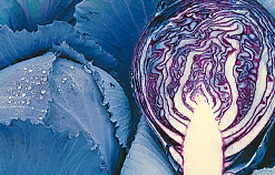 Реску F1, семена капусты краснокачанной (Syngenta / Сингента) - фото 6228