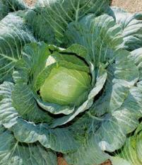 Шармант F1, семена капусты белокочанной (Sakata / Саката) - фото 6235