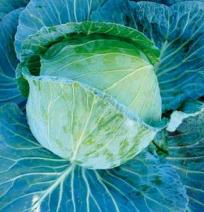 Марло F1, семена капусты белокочанной (Sakata / Саката) - фото 6244