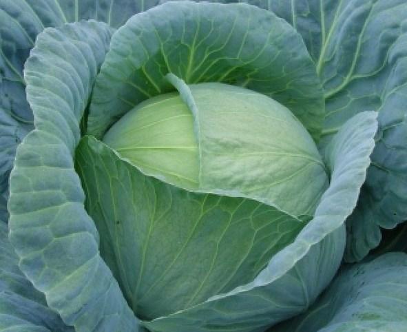 Тенесити F1, семена капусты белокочанной (Sakata / Саката) - фото 6245