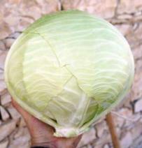 Файтер F1, семена капусты белокочанной (Sakata / Саката) - фото 6247
