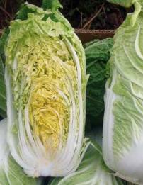 Натсуки F1, семена капусты пекинской (Sakata / Саката) - фото 6278