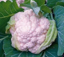 Амандин F1, семена капусты цветной (Sakata / Саката) - фото 6292