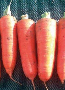 Курода Пауэр, семена моркови (Sakata / Саката) - фото 6300