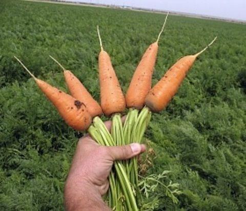 Ред Кор, семена моркови (Sakata / Саката) - фото 6301