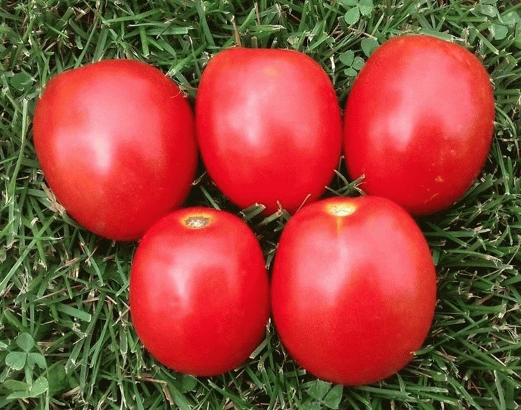Гюзель F1, семена томата детерминантного (Sakata / Саката) - фото 6371