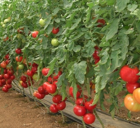 Розалин F1, семена томата индетерминантного (Sakata / Саката) - фото 6403