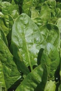 Клиппер F1, семена шпината (Sakata / Саката) - фото 6416