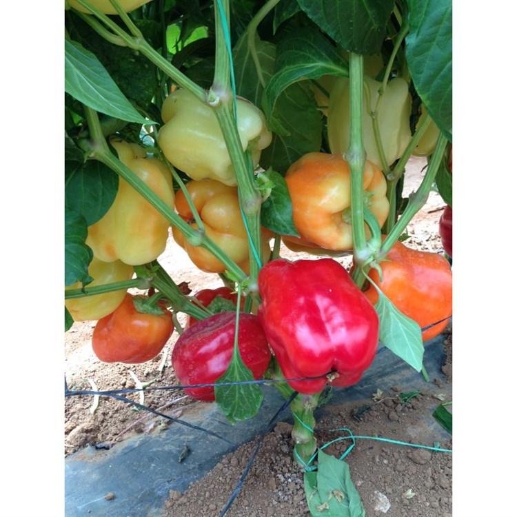 Оида F1, семена перца сладкого (Clause / Клоз) - фото 6421