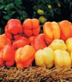 Никита F1, семена перца сладкого (Clause / Клоз) - фото 6423
