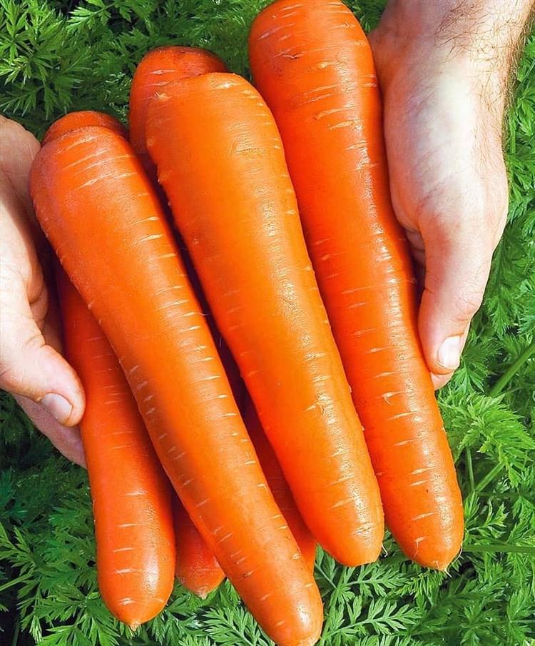 Концерто F1, семена моркови нантской (Vilmorin / Вильморин) - фото 6431
