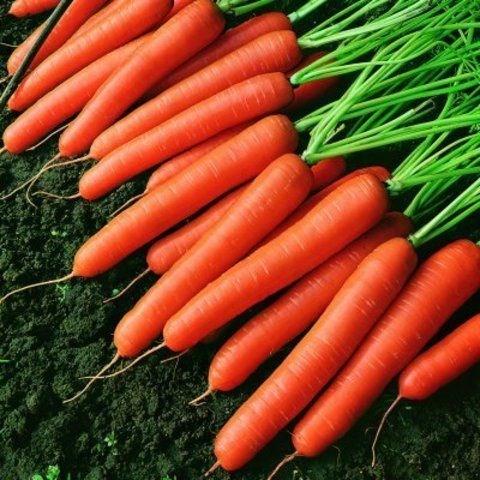 Темпо F1, семена моркови нантской (Vilmorin / Вильморин) - фото 6432