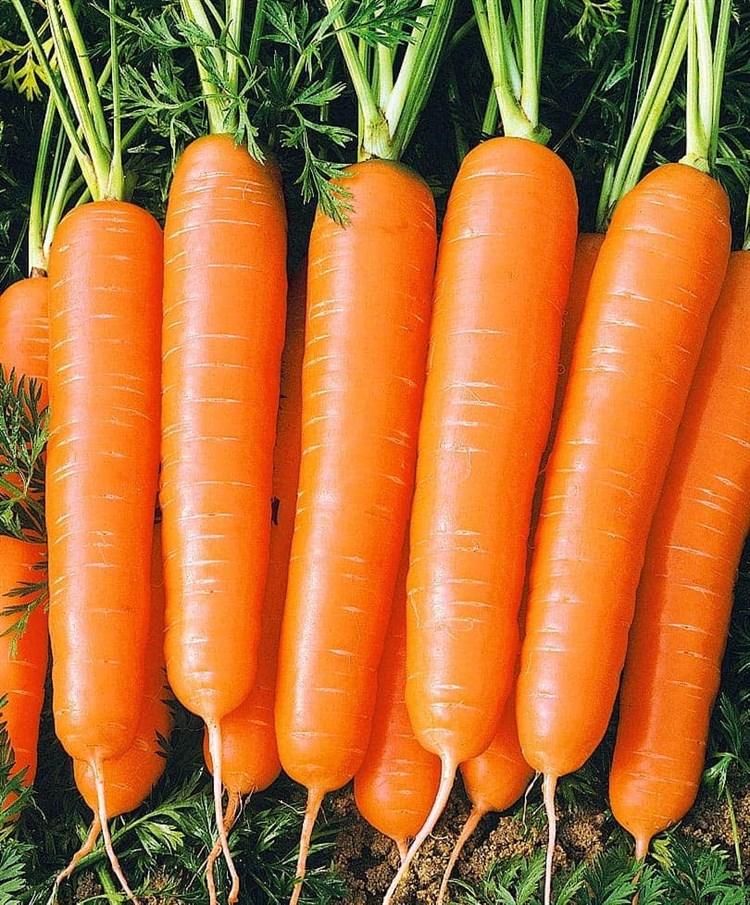 Болеро F1, семена моркови нантской (Vilmorin / Вильморин) - фото 6436
