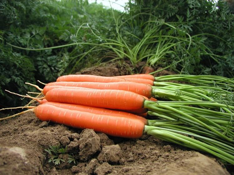 Аттилио F1, семена моркови нантской (Vilmorin / Вильморин) - фото 6439