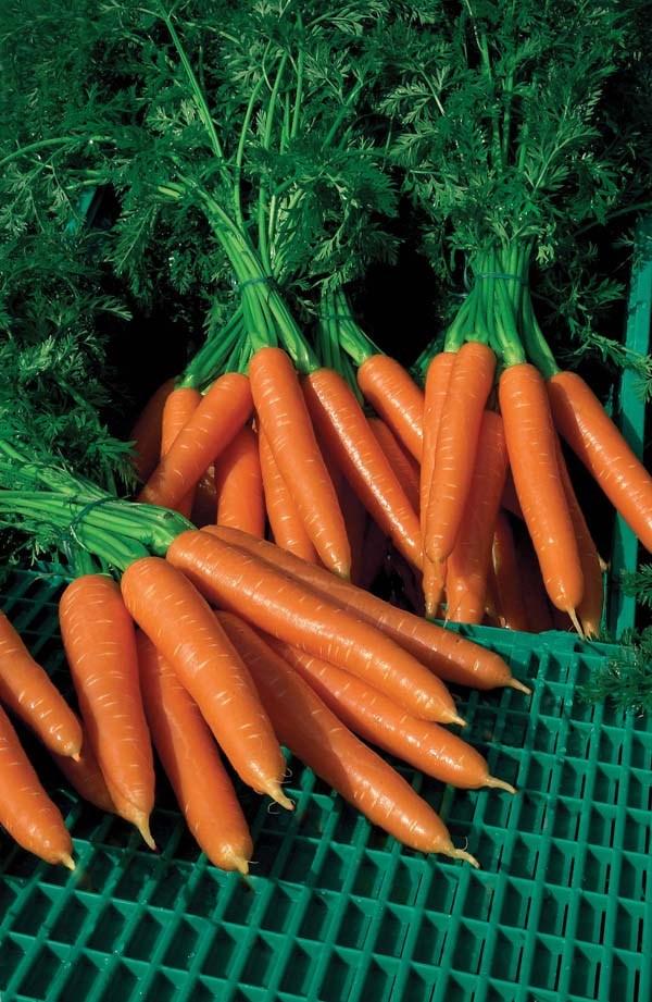 Волкано F1, семена моркови нантской (Vilmorin / Вильморин) - фото 6448
