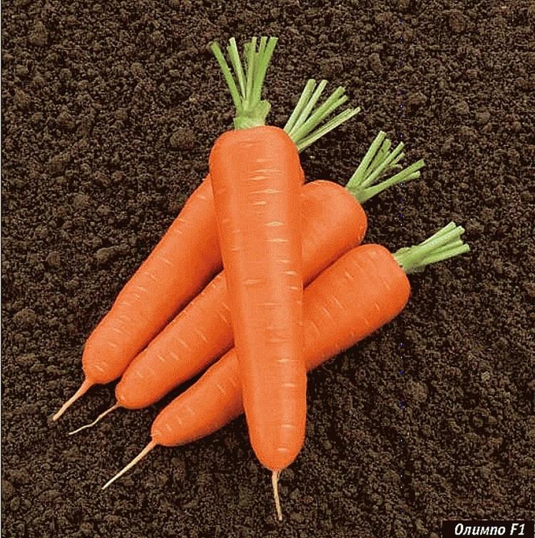 Олимпо F1, семена моркови нантской (Vilmorin / Вильморин) - фото 6452