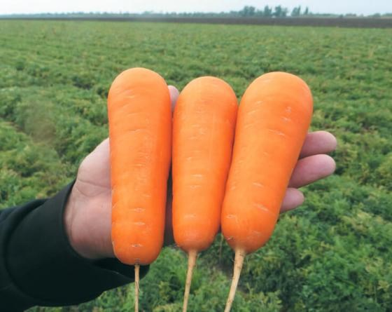 Боливар F1, семена моркови шантане (Clause / Клоз) - фото 6457