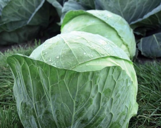 Чиз F1, семена капусты белокочанной (Clause / Клоз) - фото 6466