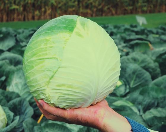 Центурион F1, семена капусты белокочанной (Clause / Клоз) - фото 6467