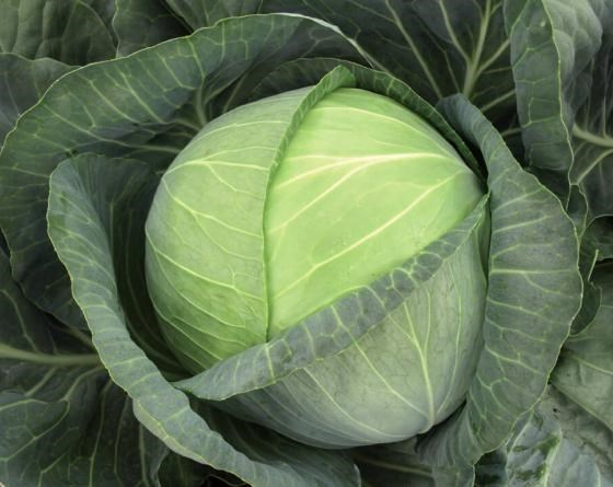Бригадир F1, семена капусты белокочанной (Clause / Клоз) - фото 6468