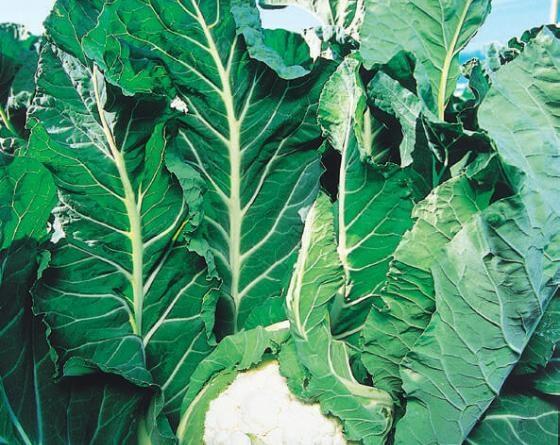 КЛ 650 F1, семена капусты цветной (Clause / Клоз) - фото 6478