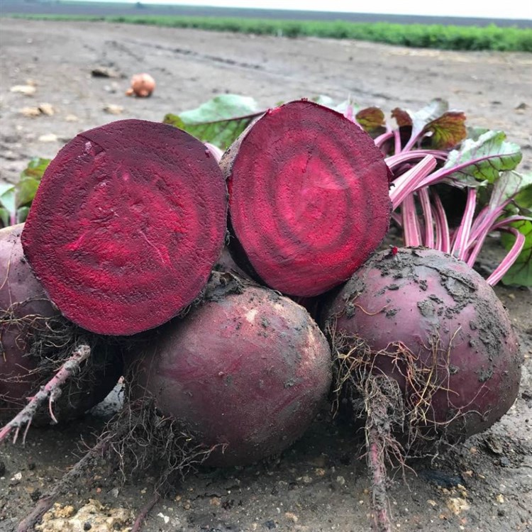 Камаро F1, семена свеклы (Vilmorin / Вильморин) - фото 6483