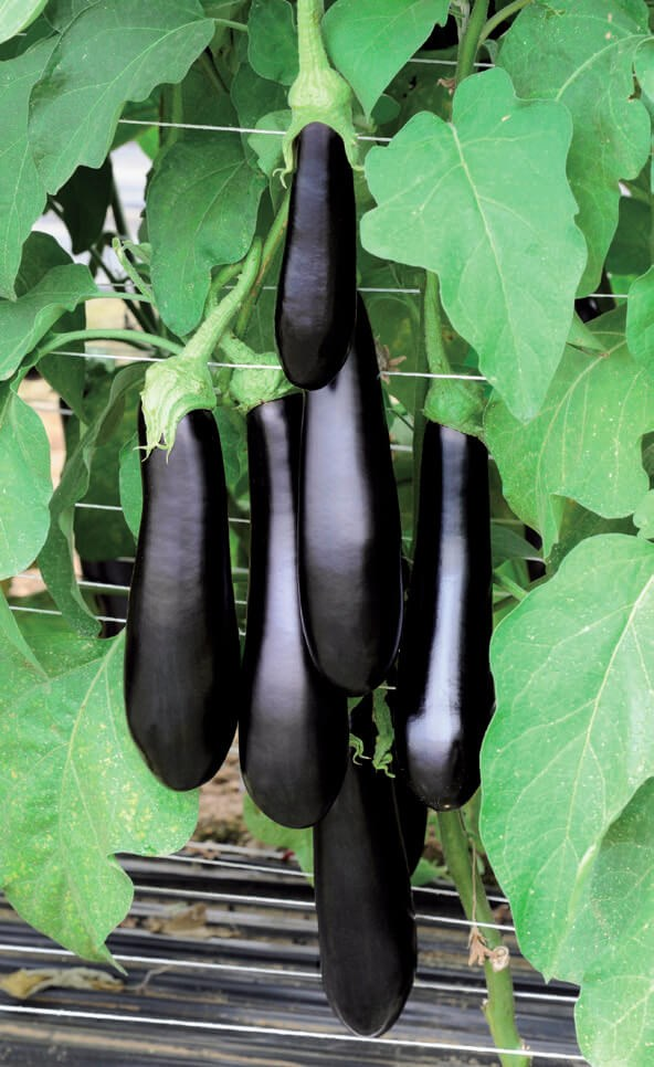 Каратая F1, семена баклажана (Vilmorin / Вильморин) - фото 6489